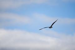 flying free (athanecon) Tags: gull seagull bird birdflying flying flyingfree flight gullflight sky clouds birdsinthecitysky citysky nikon nikond750 nikonphotography tamron tamron150600mmg2 alimos athens attica greece minimal minimalism