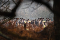 Fallow Herd... (petegatehouse) Tags: deer fallowdeer herd woodland window trees farmland