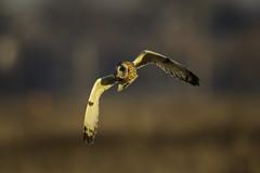The Golden Owl (Chris Bainbridge1) Tags: asioflammeus shortearedowl in flight sunset golden hour evening light