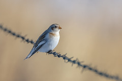 Snow bunting (Peter Stahl Photography) Tags: snowbunting bunting winter migrant