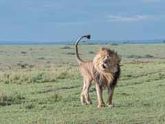 Scarface (Tris Enticknap) Tags: africa kenya masaimaranationalreserve lion africanlion pantheraleo bigcat