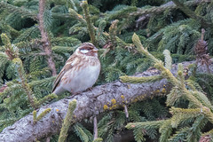 Pine Bunting (Tim Melling) Tags: emberiza leucocephalus pine bunting sichuan china male timmelling