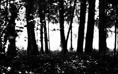 Trees in monochrome (Adlisibirsk) Tags: bw ilfordpanfplus50 leicamp pakonf135 summilux50mmasph 35mm analog iso50