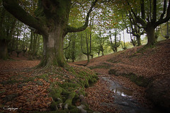 Un sueño... (cienfuegos84) Tags: hayedo otzarreta otoño ocre bosque