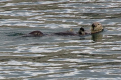 Sea Otter (Kelson) Tags: monterey montereybay bay california ocean animals otter seaotter swimming