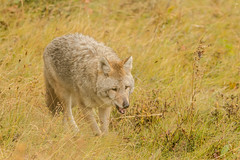 Foraging (ChicagoBob46) Tags: coyote yellowstone yellowstonenationalpark nature wildlife naturethroughthelens coth coth5 ngc npc