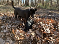 Adventure Dogs at Play (phthaloblu) Tags: wrestling leafpiles fall playinginleaves adventuredogs dozer drago