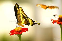 BORBOLETAS (guyjosephfotografo) Tags: flores borboletas pólem verde jardim bananeiras paraíba brasil