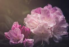 Unique (danniearmstrong) Tags: gardens flowers rhodo pink