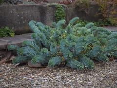 Euphorbia myrsinites (soenke.haas) Tags: berggarten hannover