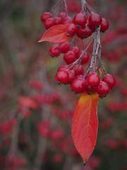 Aronia arbutifolia (soenke.haas) Tags: berggarten hannover aronia früchte