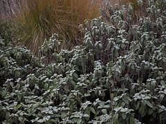 Salvia officinalis 'Berggarten' (soenke.haas) Tags: berggarten hannover salbei