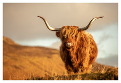 Scottish Highland Cow, Elgol, Isle of Skye (Michael Long Landscaper) Tags: canon canonuk highland hillside highlands highlandcow highlandcattle horns animalinthewild wildlife animal ukwildlife scottish scottishhighlands isleofskye