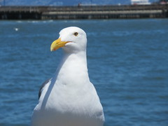 Seagull (kenjet) Tags: bird gull seagull beak feather feathers animal watching sanfrancisco bay water ocean pacific pacificocean standing looking