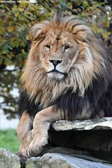 African lion - Pakawipark (Mandenno photography) Tags: animal animals african lion lions leeuw leeuwen bigcat big cat cats belgie belgium olmense olmensezoo pakawi park pakawipark ngc nature natgeo natgeographic zoo discovery bbcearth bbc