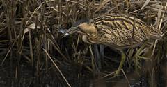 Bittern Snack (Ann and Chris) Tags: bittern close fishing fish secretive lake reeds reedbed elusive wildlife wild waterbird