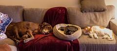Nap Time (LXG_Photos) Tags: pets dog cat voigtlander40f2sliin catsanddogs sleeping inside together