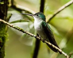 0P7A2564   Andean Emerald Hummingbird, Ecuador (ashahmtl) Tags: andeanemeraldhummingbird bird hummingbird amaziliafranciae mindo pichinchaprovince ecuador