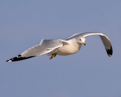Cruising... (ragtops2000) Tags: wild nature seagull ringbilled colorful flying flight stop eye cruising lake autumn bird water