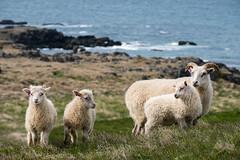 The family (Mattias Hedberg) Tags: grass iceland summer sheep vatnsnes nature water family coast animal