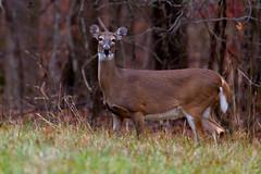 OptOutside_2019_0543-copy (stevef325) Tags: deer whitetaileddeer nopeople woods field grass trees kennesawmountain nationalpark wildlife surprise watchful
