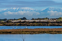 Three Pelicans and the Snowy Mountains (SCSQ4) Tags: americanwhitepelican americanwhitepelicans bolsachicaecologicalreserve california cloudy favorite favoritepicture huntingtonbeach morning mountains sangabrielmountains snowy snowymountains wetlands whitepelican