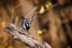 Vogelbeobachtung III - Foto 2 (emp.schmid) Tags: vogel bird tannenmeise siebentischwald augsburg tit