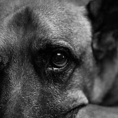 Morgan (ajday) Tags: bw rescue dog mono morgan bestfriend bff iphone rspca piratedog friendsforlife iphoneography thunderbuddy monochrome