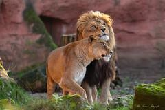 Schmuse Time (Ria Trouw) Tags: erlebniszoohannover löwen basu naima niedersachsen hannover zoo raubtiere raubkatzen