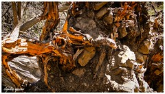 Raíces del color / Color roots (Claudio Andrés García) Tags: árboles trees madera wood naturaleza nature montaña mountain primavera spring fotografía photography shot picture raíces roots orange cybershot flickr