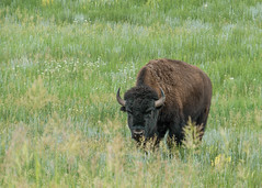 Bison Bull Meadow - Standing (Patti Deters) Tags: mammal animal bison buffalo male horns grazing standing meadow grass wildflowers one single fourlegs 4legs large close big brown fur pelt snout profile wildlife pattideters
