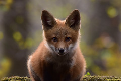 FoxCubPortrait2Smaller (2) (Rich Mayer Photography) Tags: fox foxes cub cubs pup pups baby babies animal animals wild life wildlife nature nikon