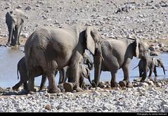 Elephant herd, Etosha NP, Namibia (JH_1982) Tags: african elephant elephants afrikanische elefant elefanten loxodonta éléphant dafrique 非洲象 アフリカゾウ属 아프리카코끼리속 африканские слоны herd group family young baby water drinking river animal wildlife nature tier natur waterhole okerfontein etosha national park nationalpark np pn parque parc nacional etoscha 埃托沙國家公園 этоша namibia namibië 纳米比亚 ナミビア 나미비아 намибия