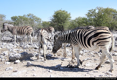 Zebras, Etosha NP, Namibia (JH_1982) Tags: zebra zebras cebra zèbre 斑馬 シマウマ 얼룩말 зебры animal animals wildlife nature tier tiere waterhole goas natur etosha national park nationalpark np pn parque parc nacional etoscha 埃托沙國家公園 этоша namibia namibië 纳米比亚 ナミビア 나미비아 намибия