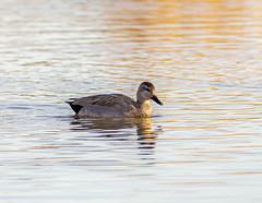 Female Gadwall (PDKImages) Tags: birds nature bird waterfowl waterbirds water flight wildlife rspb rspboldmoor