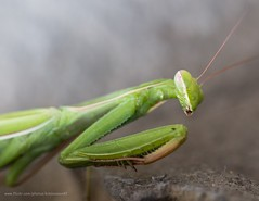 Praying mantis (kimbenson45) Tags: closeup differentialfocus green insect macro nature prayingmantis shallowdepthoffield wildlife