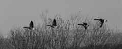 Canada Geese in flight (PDKImages) Tags: birds nature bird waterfowl waterbirds water flight wildlife rspb rspboldmoor