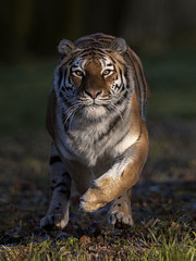 Hard on the Brakes (Portrait) (Jonnyfez) Tags: tschuna jonnyfez yorkshire siberian tiger amur wildlife park big cat