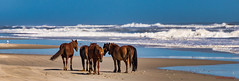 5 & Waves (Donald.Gallagher) Tags: 4x4beach animals atlantic beach black blacklevels blue brown carova clarity colors contrast crop dehaze exposure horses mammals mare nc nature northamerica northcarolina obx ocean outerbanks outerbanx public saturation skylumphotolemur3 spanishmustang stallion summer topazsharpenai typecolor typelightroom usa waves white whitelevels