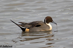 Pintail Male (Georgiegirl2015) Tags: pintail ducks birds dellalackwildlifephotography avian nature wetland december2019 wintervisitor slimbridge gloucestershire ornithology russia scandinavia protected wildlife winter canon ef300mm 7dmkii male