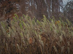 Cimicifuga simplex (soenke.haas) Tags: berggarten hannover früchte