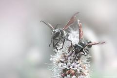 Chalybion Californicum (Clém VDB / Tiogris) Tags: chalybioncalifornicum insecte insect macro nature guêpe flower fleur sphécidés