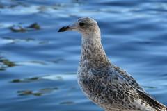 Ring-billed Gull, Larus delawarensis (Dave Beaudette) Tags: birds ringbilledgull larusdelawarensis reidpark tucson pimacounty arizona