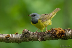 Morning Warbler in the morning.. (Earl Reinink) Tags: warbler songbird bire morningwarbler tree woods forest branch feathers nature wildlife outdoors earlreinink raaaodrdza
