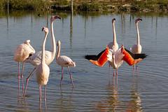 Bonjour Madame (Xtian du Gard) Tags: xtiandugard pontdegau flamantrose flamingos rose rouge parade camargue provence