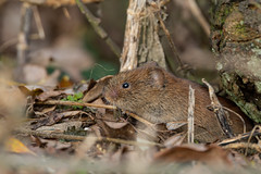 Bank Vole (robin elliott photography) Tags: wood autumn winter wild nature woodland mammal outdoors rodent small vole creature voles smallmammals myodesglareolus outside