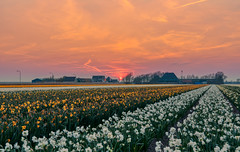 Dusk's setting in. (Alex-de-Haas) Tags: 1635mm d500 dutch europa europe holland nederland nederlands netherlands nikkor nikkor1635mm nikon nikond500 noordholland agriculture akkerbouw beautiful beauty bloemen bloemenvelden boerenland bollenvelden bulbfields daffodil daffodils farmland farming flowerfields flowers landbouw landscape landscapephotography landschaft landschap landschapsfotografie lente lucht mooi narcis narcissen polder pracht schoonheid skies sky spring sundown sunset zonsondergang burgerbrug northholland