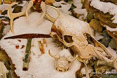 Bliss Ranch Rock Garden (franklin331) Tags: antique antler blissdinosaurranch blissphotographics blissranch bones boneyard deer frankbliss franklinebliss rockgarden rockhammer rocks skull snow sonyalpha