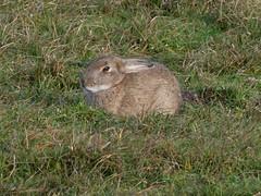Oryctolagus cuniculus (Linnaeus, 1758) - European Rabbit (Peter M Greenwood) Tags: oryctolaguscuniculus europeanrabbit oryctolagus cuniculus european rabbit