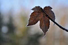 Das letzte Blatt (Uli He - Fotofee) Tags: ulrike ulrikehe uli ulihe ulrikehergert hergert nikon nikond90 fotofee advent weihnachten frostig frost dezember 2019 steine